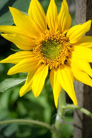 polen: A fully bloomed sunflower close up shot.