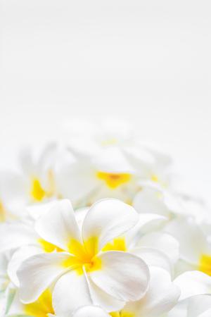 other keywords: Frangipani flowers shot at close range on white background