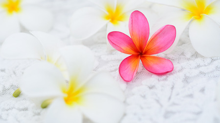 A pink frangipani surrounded by white frangipanis. possibly suggesting to be different. Stock Photo