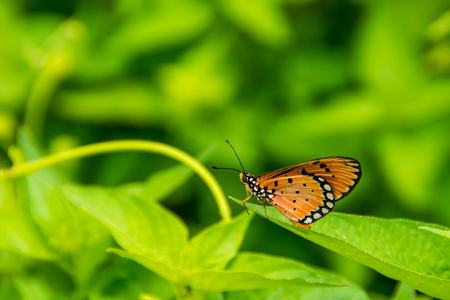 longwing: Pretty orange & black butterfly resting on a leaf. Stock Photo