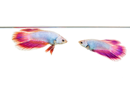 Colorful guppy fish in tank with white background.
