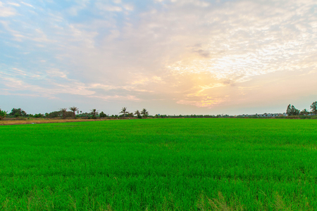 field sunset: Sunset view over paddy field