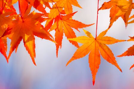 Vibrant orange maple leaves Stock Photo - 8559636