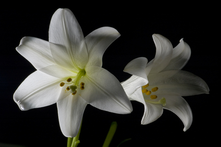 unfold: Two white lilies isolated on black background, macro