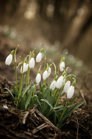 galanthus: Galanthus Nivalis - common snowdrop flowers in a dark forest Stock Photo
