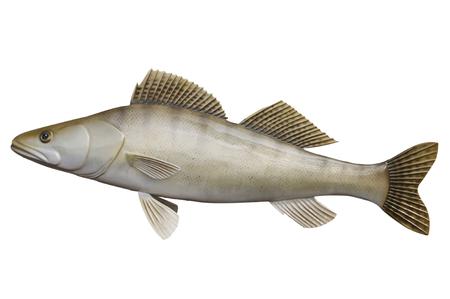 European Zander - fish model isolated on white