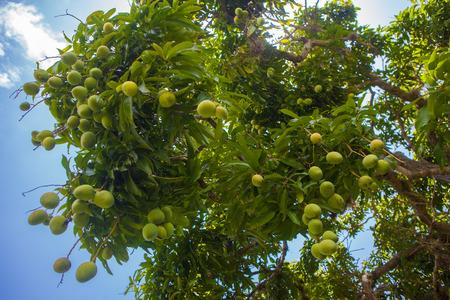 mango fruta: �rbol de mango