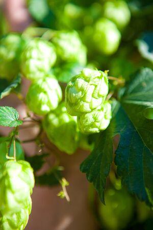 hop plant: Hop plant  Stock Photo