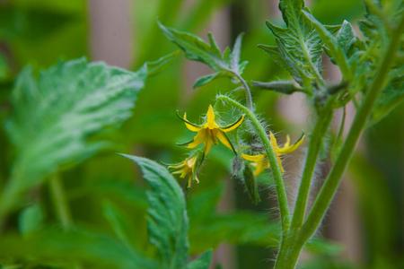 Tomato flower Stock Photo