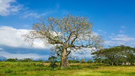 The silk cotton tree in Jamaica
