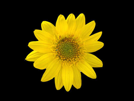 A photograph of an isolated Balsam Root Flower (Balsamorhiza deltoidea), which I have cut out and placed on a black background
