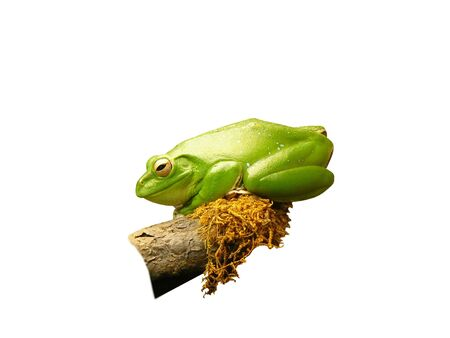 a beautiful frog resting on a mossy branch, which I have cut-out and isolated onto a white background