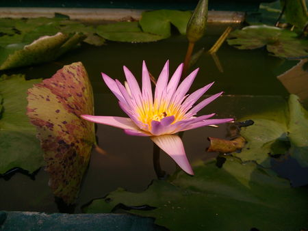 Close up of pink lotus flower or water lily in a temple.