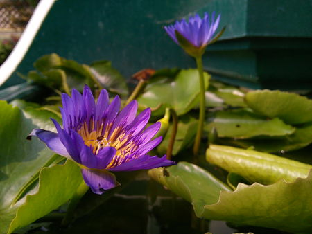 Close up of purple lotus flower or water lily in a temple. Stock Photo