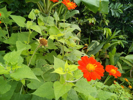 Close up of blooming Mexican sunflower or tithonia rotundifolia in the garden.
