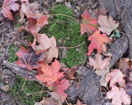 Orange Red Autumn Maple Leaves Background Stock Photo