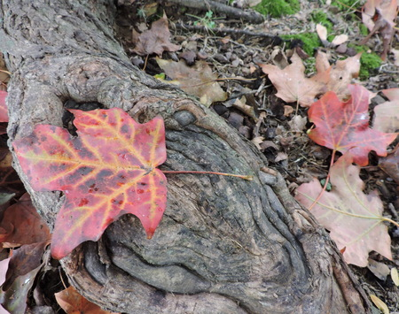 Colorful Autumn Maple Leaves on Tree Roots Stock Photo - 46781220