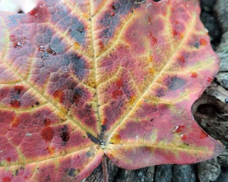 Autumn Maple Leaf Veins Close-up Detail