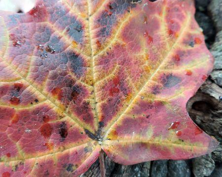 veins: Autumn Maple Leaf Veins Close-up Detail