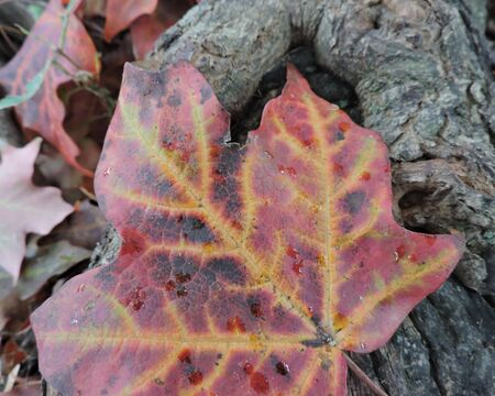 Colorful Autumn Maple Leaf Close-up