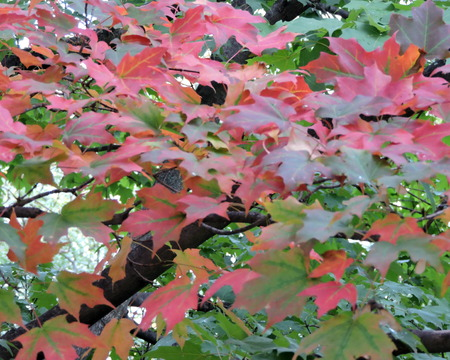changing color: Autumn Maple Leaves Changing Color on Tree Stock Photo