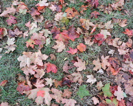 Autumn Maple Leaves Lying on Grass Stock Photo