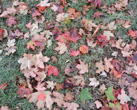 Autumn Maple Leaves Lying on Grass Stock Photo - 46781237