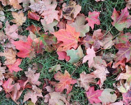 Fallen Autumn Maple Leaves on Ground Stock Photo - 46781235