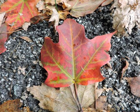 Autumn Maple Leaf on Street Stock Photo - 46779542
