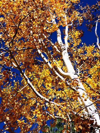 Aspen Autumn Leaves