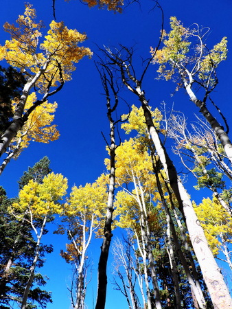 Aspen Leaves Trees Forest Autumn Sky