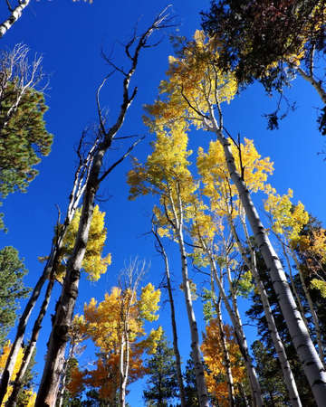Aspen Leaves Trees Forest Autumn