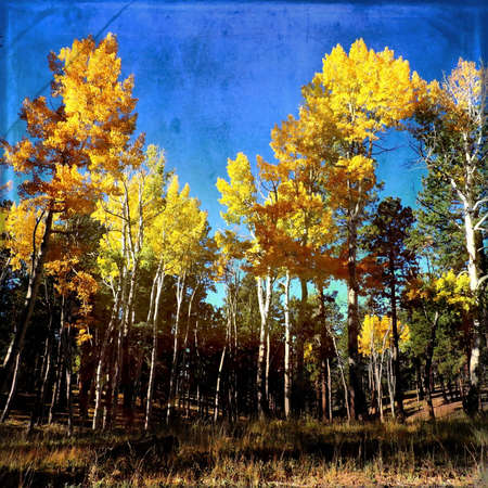 Aspen Forest Autumn Scene Texture Stock Photo - 56978310