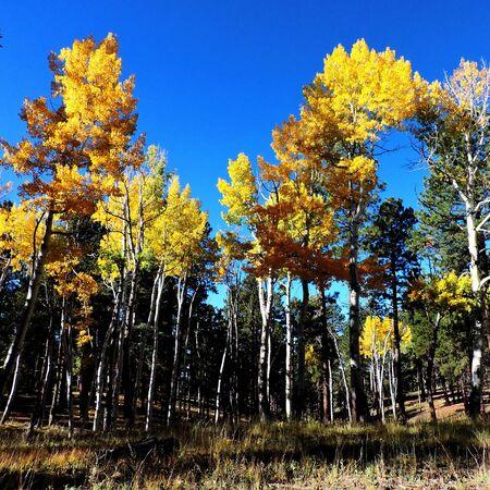 Aspen Leaves Autumn