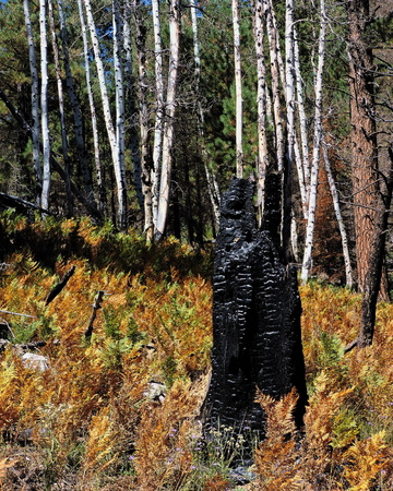 Aspen Tree Meadow after Forest Fire Stock Photo - 56978423
