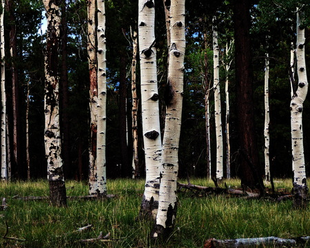 Aspen Tree Grove Stock Photo - 56978426