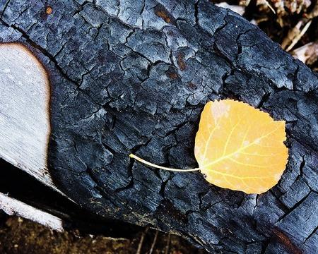 Aspen Leaf on Burned Tree Stump Stock Photo - 56978428