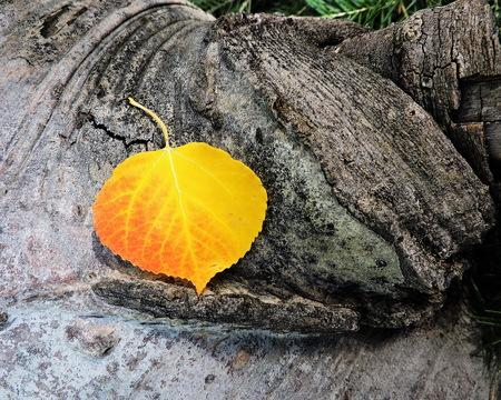 aspen leaf: Golden Aspen Leaf Autumn Stock Photo