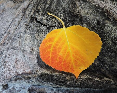 aspen leaf: Aspen Leaf Autumn Single Close Up