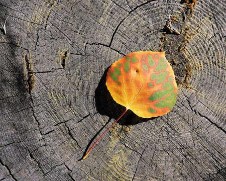 Aspen Leaf Autumn Stock Photo