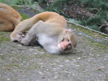 Monkey Rhesus Macaque India Stock Photo - 69420336