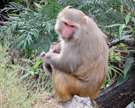 Monkey Rhesus Macaque India