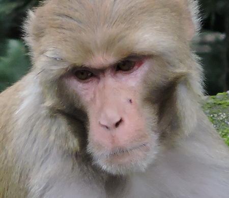 Monkey Rhesus Macaque India Stock Photo - 69420340