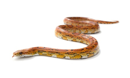slither: Isolated snake