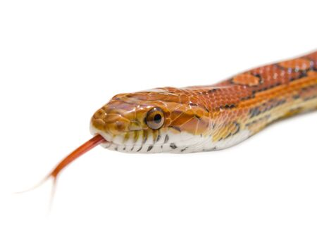 Isolated snake Stock Photo - 17876376