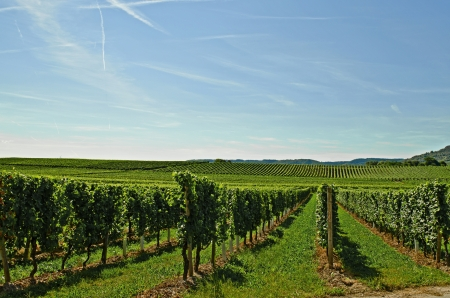 Vineyard Stock Photo - 17876498