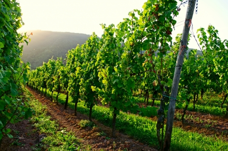 Vineyard sunset Stock Photo - 17876499