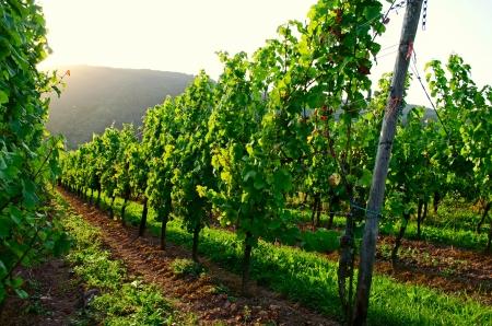 Vineyard sunset Stock Photo - 17876499