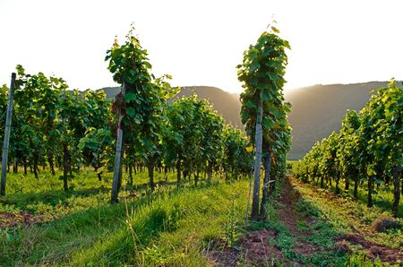 Vineyard sunset Stock Photo - 17876502
