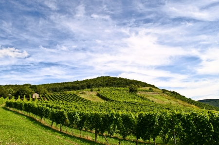 mosel: Vineyard Stock Photo